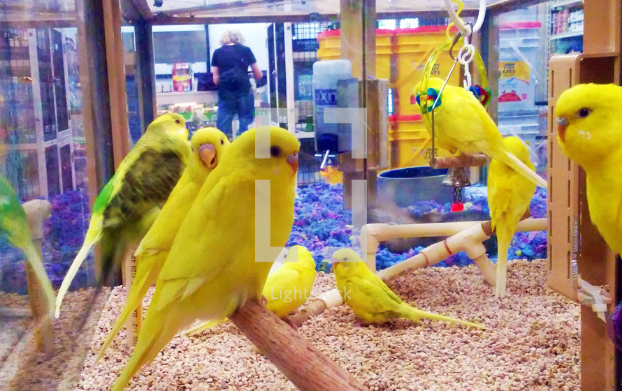 A group of yellow Canaries congregate together in a bird habitat enclosure in the middle of a pet store. Birds are very social creatures and get very bored and lonely if by themselves so it is vital for them to have a sense of community and fellowship together. Just like people, God gave animals a sense of community and need for each other just like people in order to survice and flourish.