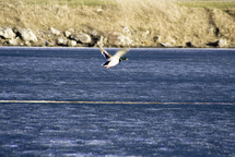 mallard duck in flight over a lake