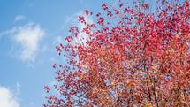 a fall maple tree