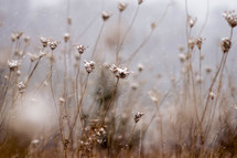 dried flowers in a field and falling snow