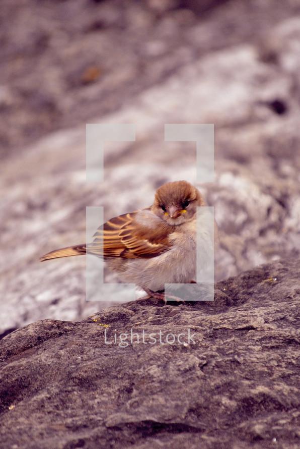 songbird on a rock
