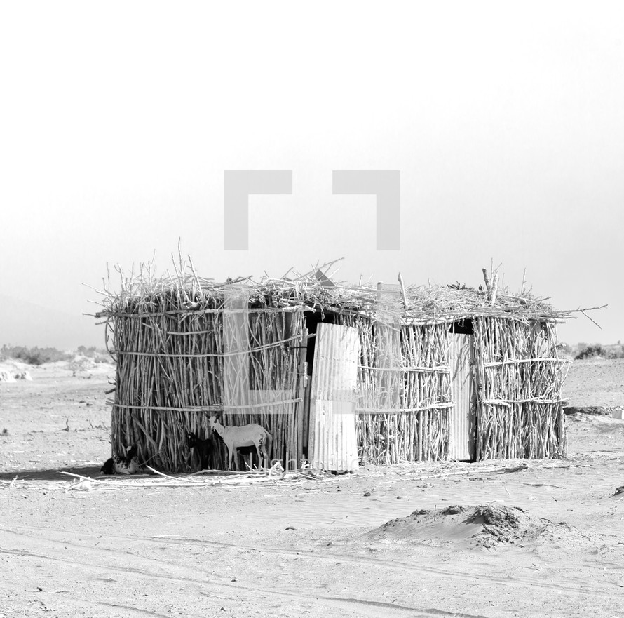 goats in front of a hut in Ethiopia
