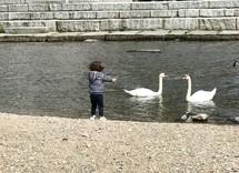 a child feeding swans