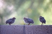 baby quail chicks