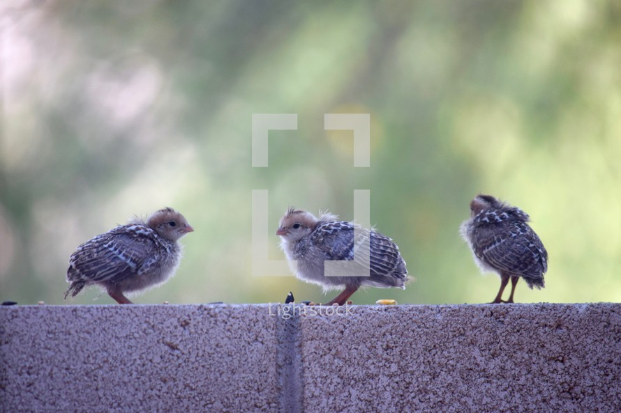 Baby Quail Chicks Photo Lightstock