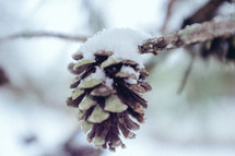 snow on a pine cone