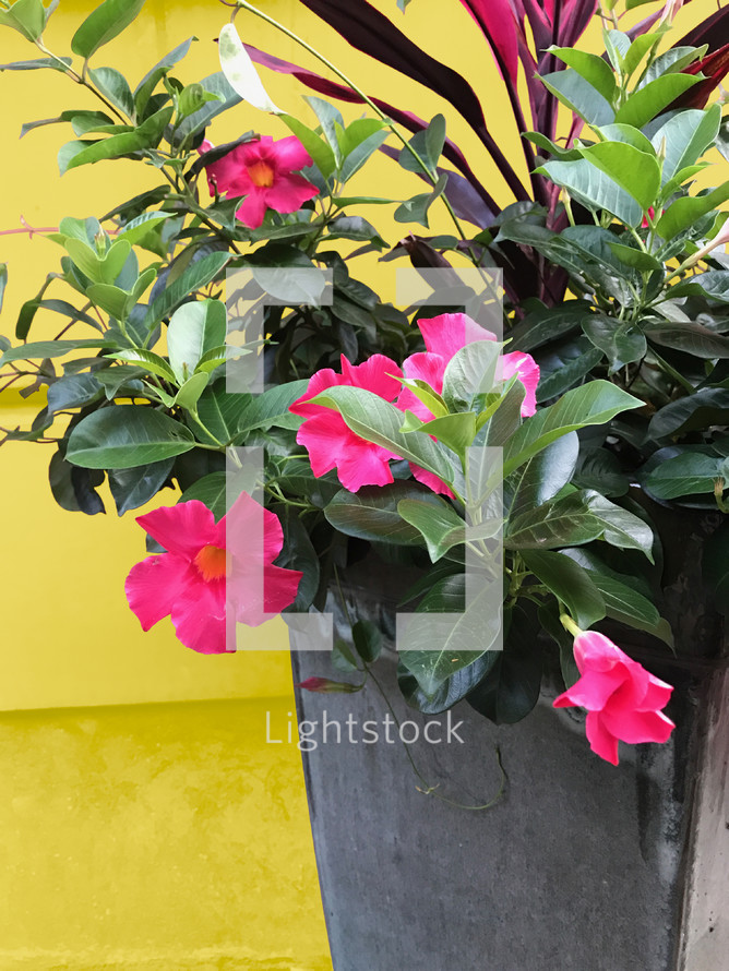 Pink Potted Flowers Photo Lightstock