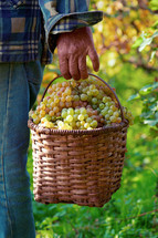 man carrying a basket of fresh picked grapes