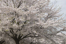 White spring flower blossoms on a cherry tree