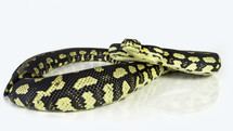 jungle carpet python