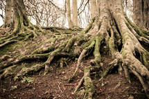 Tree roots above ground.