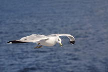 A seagull in flight over water.