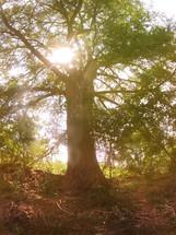 Tall tree ion a sunny day.