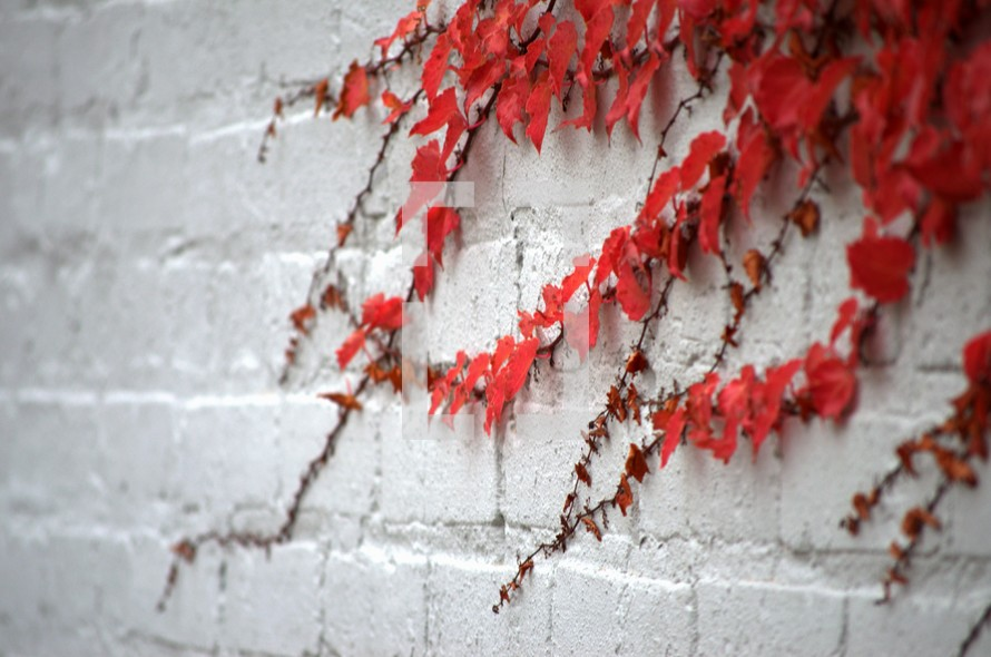 red ivy growing on a white wall