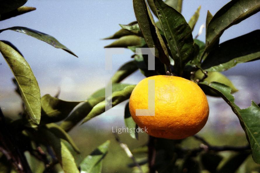 orange growing on a tree