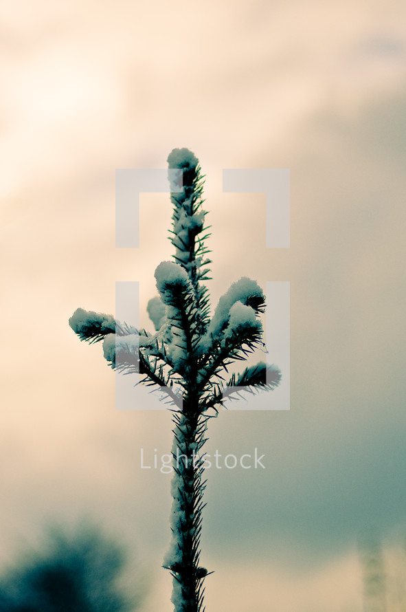 snow on the branch of a pine tree