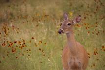A doe in a field of wildflowers
