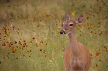 A doe in a field of wildflowers