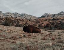resting bison