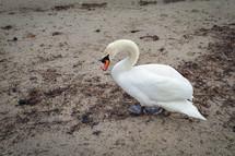 Mute Swan Walking on the Sandy Beach