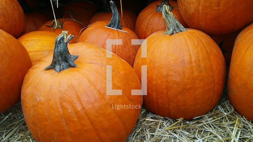 A close-up of a group of eleven healthy looking orange pumpkins in a pumpkin patch surrounded by soft hay ready to be picked and brought home for fall decorations on someone's doorstep or front porch to greet neighbors and friends for fall and harvest festival or Halloween activities for family and children alike.