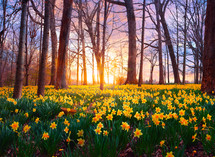 Yellow daffodils cover the forest floor