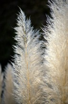 fuzzy tops of grasses