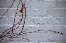 dead ivy on a white brick wall