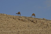 All the colors of the rocks; camels on the hills of the Jeshimon wilderness