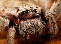 close-up of the eyes and fangs of a huntsman spider