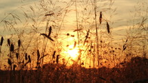 tall grass in a field at sunset