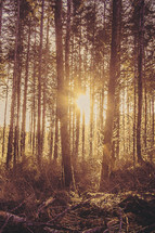 Sun shining through a forest of trees.