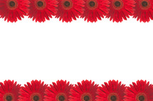 rows of red gerber daisies