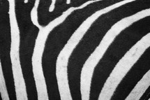 A close-up of zebra print