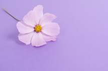 A single pink flower on a lavender background.