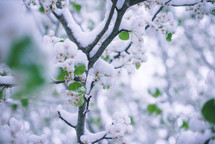 snow on spring trees