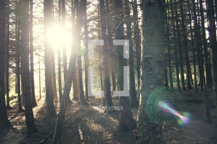 sunburst through tree trunks in a forest