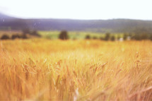 Golden wheat in a field.