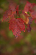 A red autumn leaf