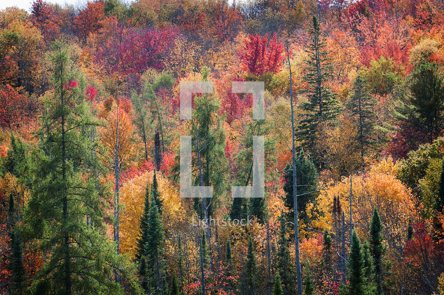 fall forest with pines