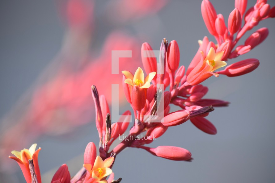red yucca flowers in bloom