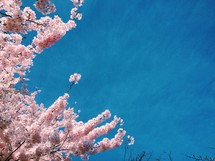 pink spring blossoms against a blue sky