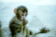 infant monkey