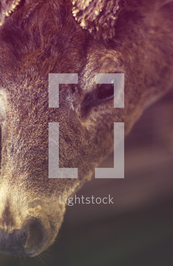 Close up of face of deer with antlers.