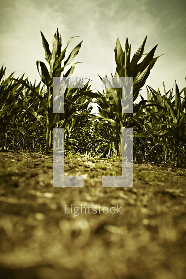 A ground level view of crops