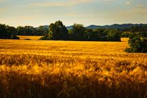 golden wheat in a wheat field