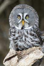 A gray owl.
