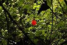 single red leaf on a tree in a rainforest