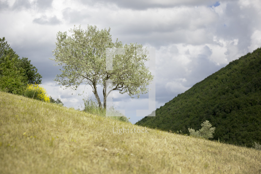 young olive tree on a hill