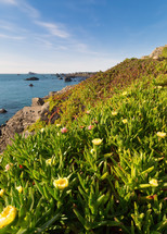 Ice plant flowers along a shore